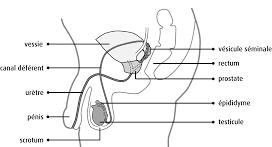 schéma zone du pénis